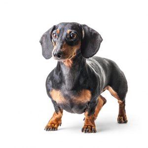 dachshund tax
