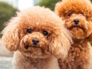 pudel samartaste hunden